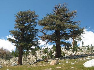 Pinus balfouriana - Image: Pinus balfouriana John Muir Trail