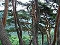 Pinus densifloras planted in Geochang.jpg