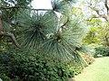 Pinus montezumae, Sheffield Botanical Gardens.jpg