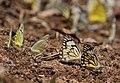 Pioneer Butterflies Mudpuddling Chinnar WLS Kerala (69).jpg