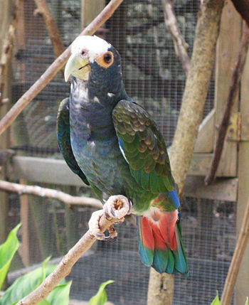 A White-crowned Parrot (also known as White-cr...