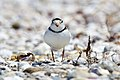 Piping Plover Migration (219153559).jpeg
