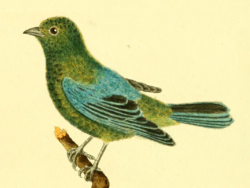 Planches enluminées d'histoire naturelle (1765) – Tangara varia (cropped).png