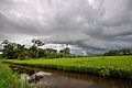 Plantación de arroz en Guarayos - Bolivia.jpg