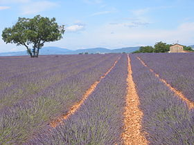 Image illustrative de l'article Plateau de Valensole