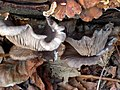 Pleurotus ostreatus 110409240.jpg