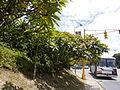 Plumeria rubra Linnaeus Los Pinos 1 2013 000.JPG