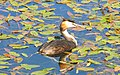 Podiceps cristatus Чомга у берега пруда.jpg