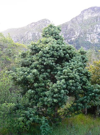 Podocarpus latifolius - A young specimen growing on the slopes of Table Mountain
