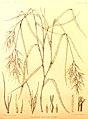 Podophorus bromoides.jpg