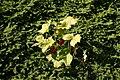 Podophyllum-peltatum-fruits.jpg