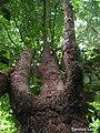 Pogonophora schomburgkiana, cocão - Flickr - Tarciso Leão (8).jpg