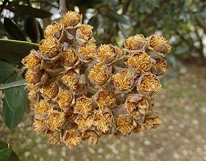 English: Pohutukawa seeds (Metrosideros excels...