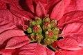 Poinsettia (37912988025).jpg