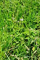 Polemonium-caeruleum-naturalized.jpg