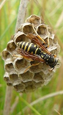 Bộ sưu tập côn trùng 2 - Page 12 220px-Polistes_biglumis_female2