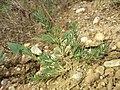 Polycnemum majus sl10.jpg