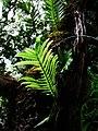 Polypodium pellucidium var. pellucidium (4755512727).jpg