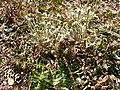 Polystichum acrostichoides 2.jpg