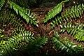 Polystichum acrostichoides 9zz.jpg