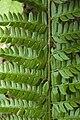 Polystichum aculeatum vallon-ferme-le-colombier-chateau-thierry 02 13072008 12.jpg