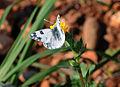 Pontia edusa - Eastern Bath White butterfly 2.jpg