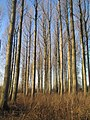 Poplar plantation - geograph.org.uk - 695400.jpg