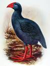 Réunion Gallinule