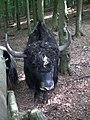 Portrait Kopf Yakbulle Tierpark Bretten.JPG