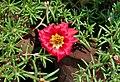 Portulaca grandiflora 26032014.jpg