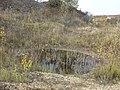 Potamogeton nodosus sl82.jpg