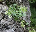 Potentilla caulescens Kaisergebirge 20170725 A.jpg