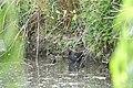 Poule d'eau et juvénile (Gallinula chloropus) (5).jpg