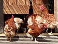 Poules en bio à Bailleul-Neuville 07.jpg