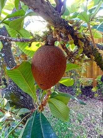 Pouteria sapota - Image: Pouteria sapota 02 fruit on branch