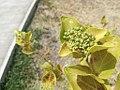 Premna serratifolia Rodrigues5.jpg