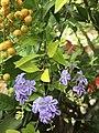 Pretty Duranta Erecta flower.jpg