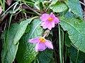 Primula megaseifolia-2.JPG
