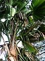 Pritchardia waialealeana (4994408132).jpg