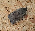 Probably Lesser Yellow Underwing (38676579781).jpg