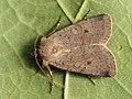 Protolampra sobrina - Cousin German - Земляная совка красноголовая (27224926168).jpg