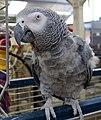 Psittacus erithacus -pet parrot-8a (1).jpg
