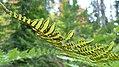 Pteridium aquilinum var. pubescens 4.jpg