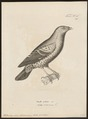 Ptilonorhynchus holosericeus - 1700-1880 - Print - Iconographia Zoologica - Special Collections University of Amsterdam - UBA01 IZ16400219.tif