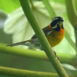 Puerto Rican Stripe-headed Tanager (male) (5403825664).jpg