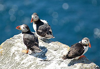 Puffin - Atlantic puffins (F. arctica)