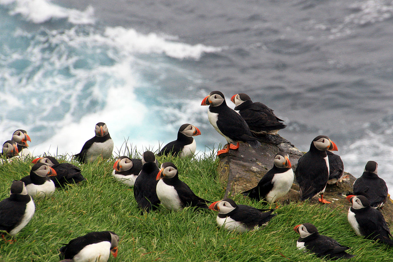 Puffins in Mykines 01