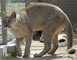 Puma concolor puma 2.JPG