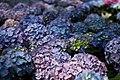 Purple-blue-yellow-hydrangea - West Virginia - ForestWander.jpg