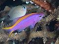 Purple anthias (Pseudanthias tuka) (39762293533).jpg
